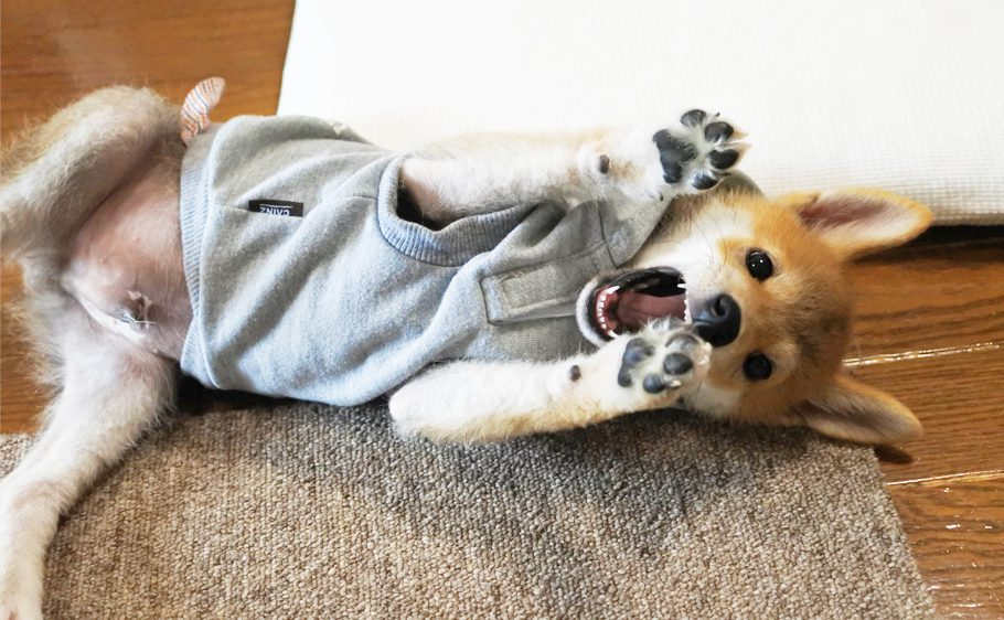 柴犬の子犬生後3か月