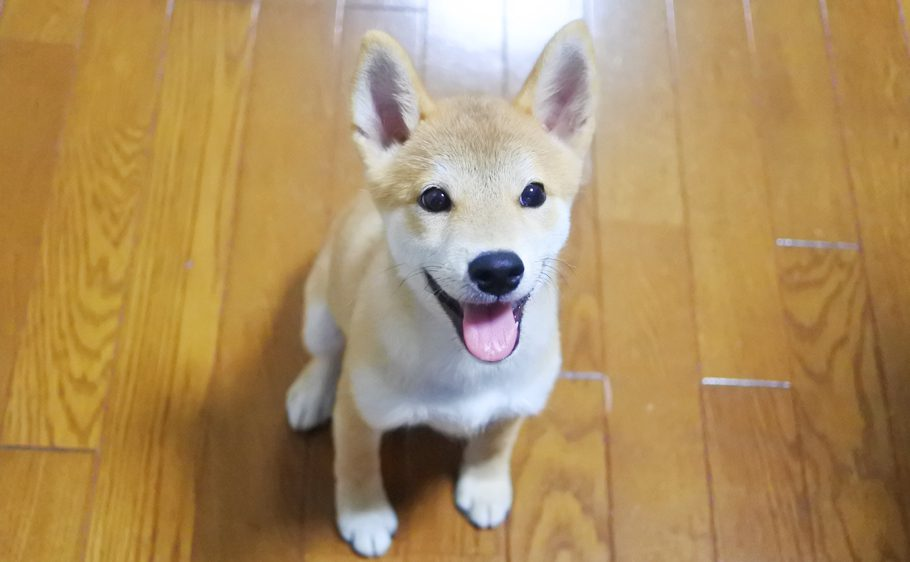 柴犬の子犬生後4か月
