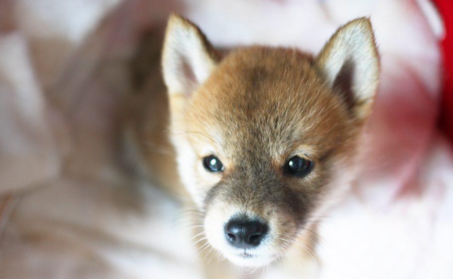柴犬の子犬の成長