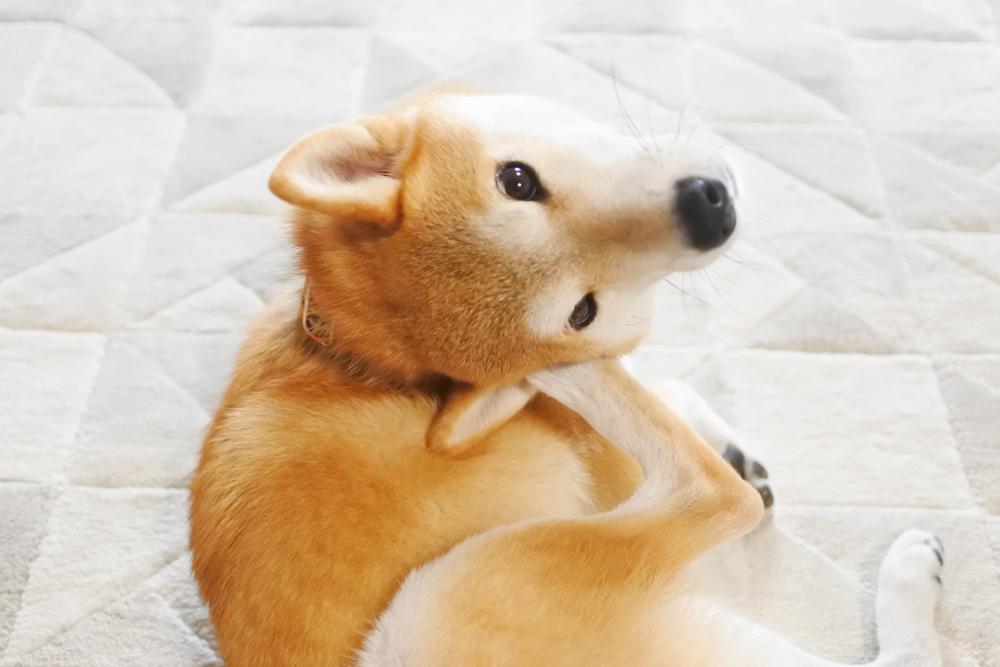 柴犬は皮膚病の子が多い