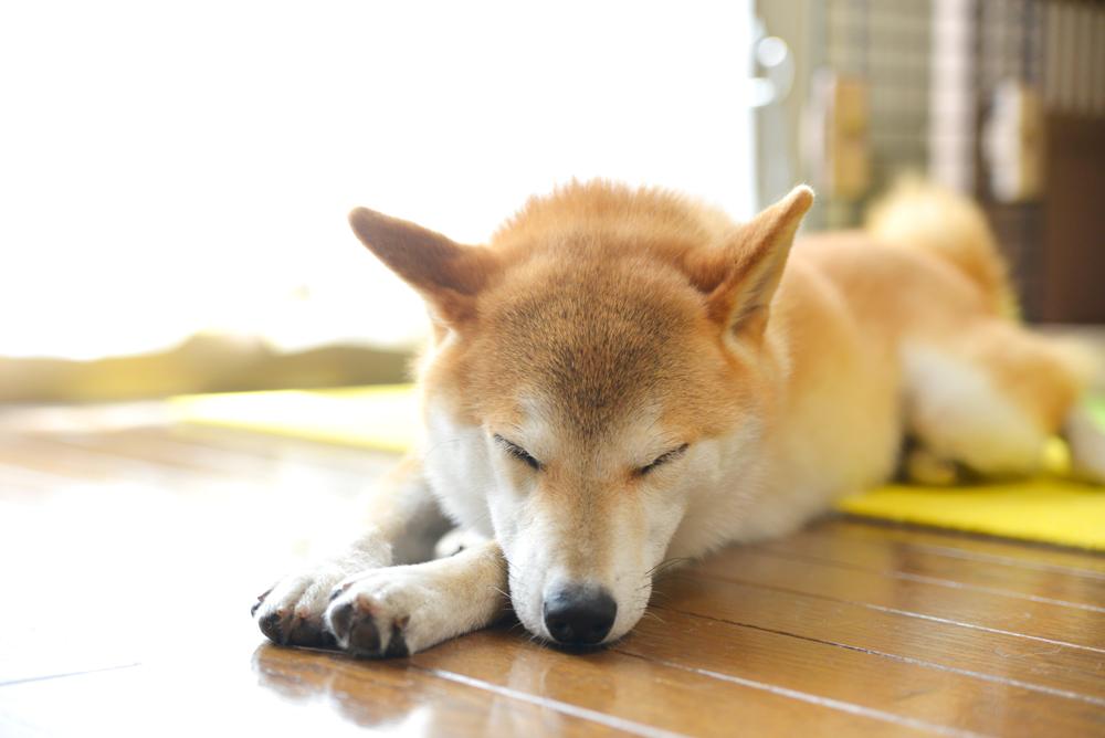 柴犬の皮膚病