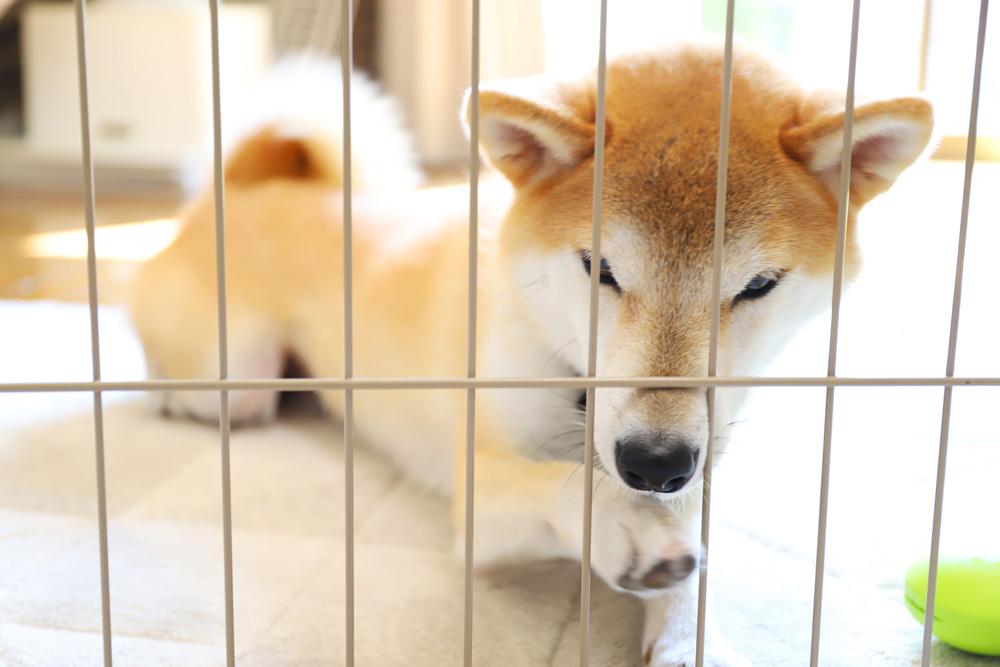 柴犬のフードアグレッシブと攻撃性について