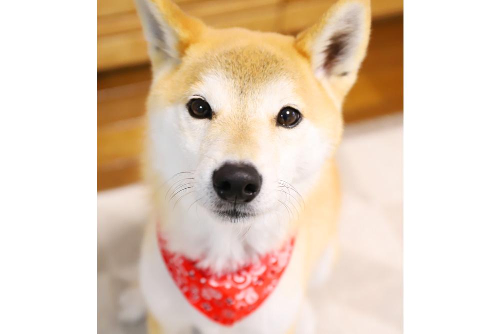 柴犬はアレルギー、アトピー、皮膚病の子が多い